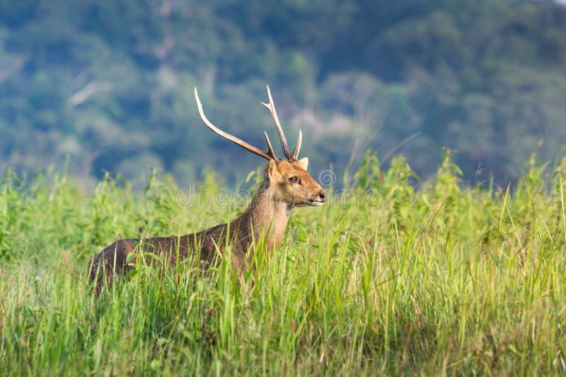 Hog deer. Male hog deer live on the grass green field royalty free stock image