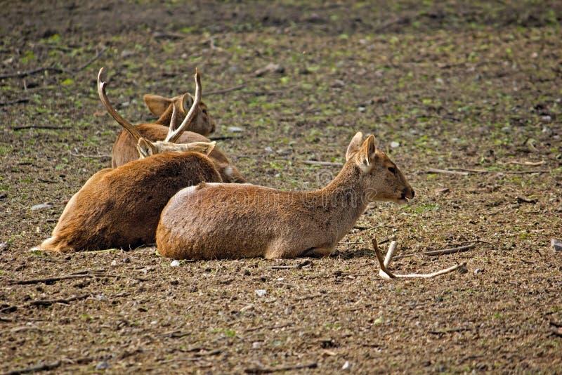 Hog deers. Group of Hog deers (Hyelaphus porcinus) in New Delhi zoo stock photos