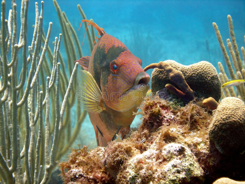 Hog fish. A hog fish displays its vivid red hunting colours as it browses over the reef looking for a snack. The hog fish can change colour according to its mood stock images