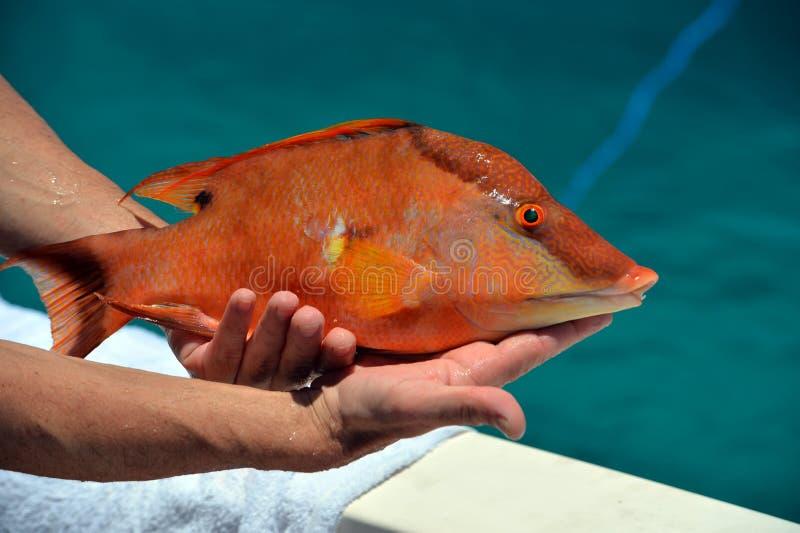 Hog fish stock photos