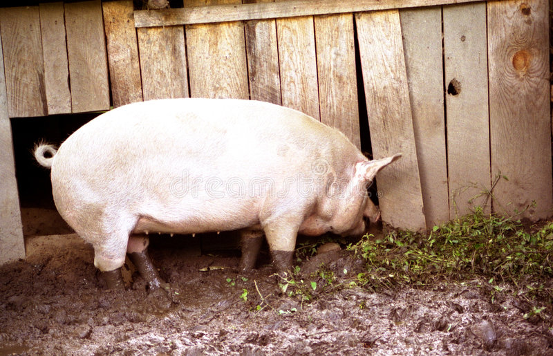 Download Hog in mud stock image. Image of business, mammal, barn, pork - 2877