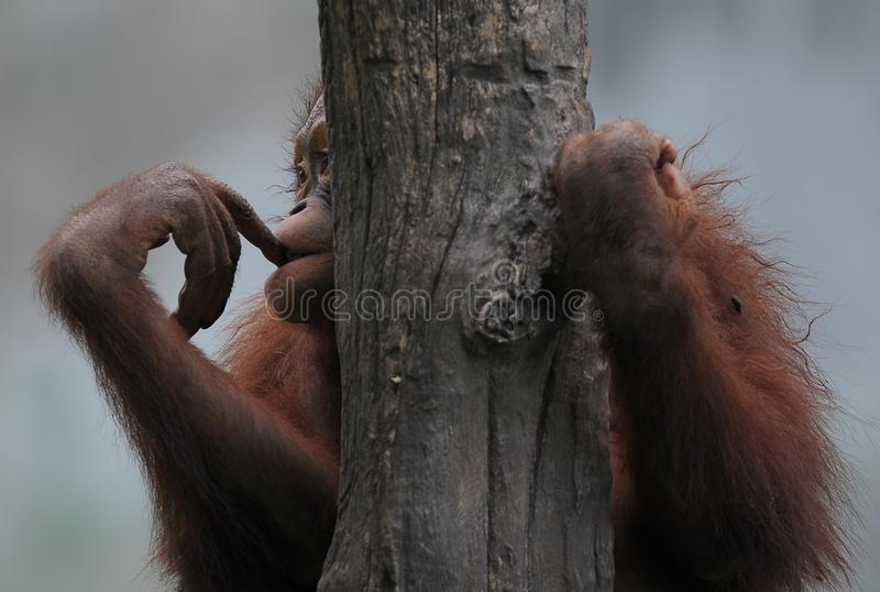 Hogar perdidoso utan del orang triste fotos de archivo libres de regalías