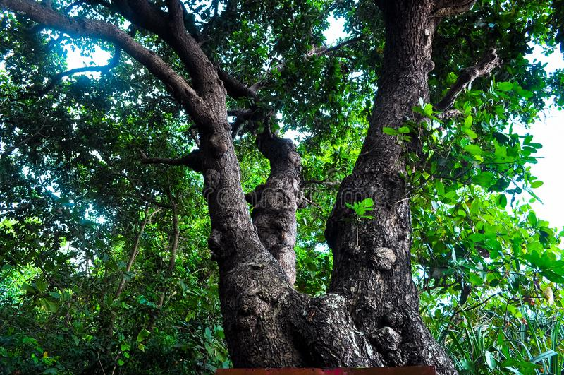 Hoge boom in het bos stock afbeelding