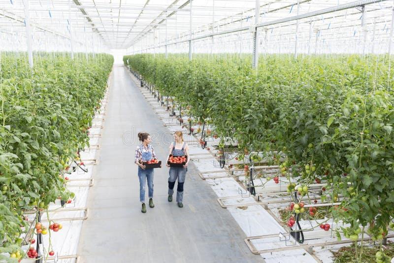 Hoge hoekmening van medewerkers die tomaten in krat dragen bij serre stock afbeeldingen