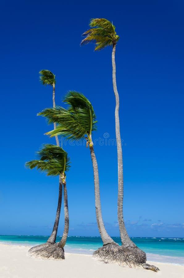 Hoge koninklijke palmen op zandig strand stock foto