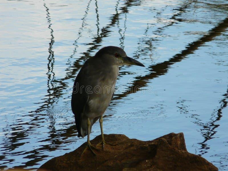 Hoge meervogel - kwaliteit stock afbeelding