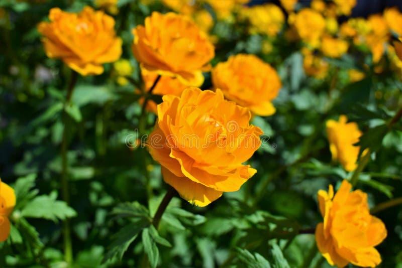 Hoge oranje bloemen die - braden vector illustratie