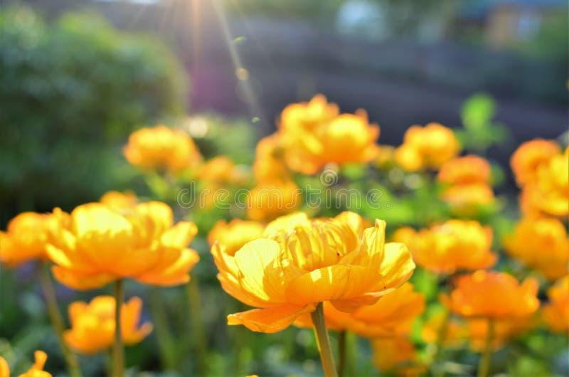Hoge oranje bloemen die - in de zon braden vector illustratie