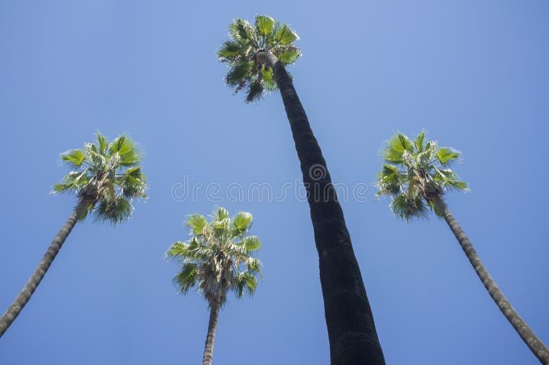 Hoge palmen tegen blauwe hemel royalty-vrije stock foto