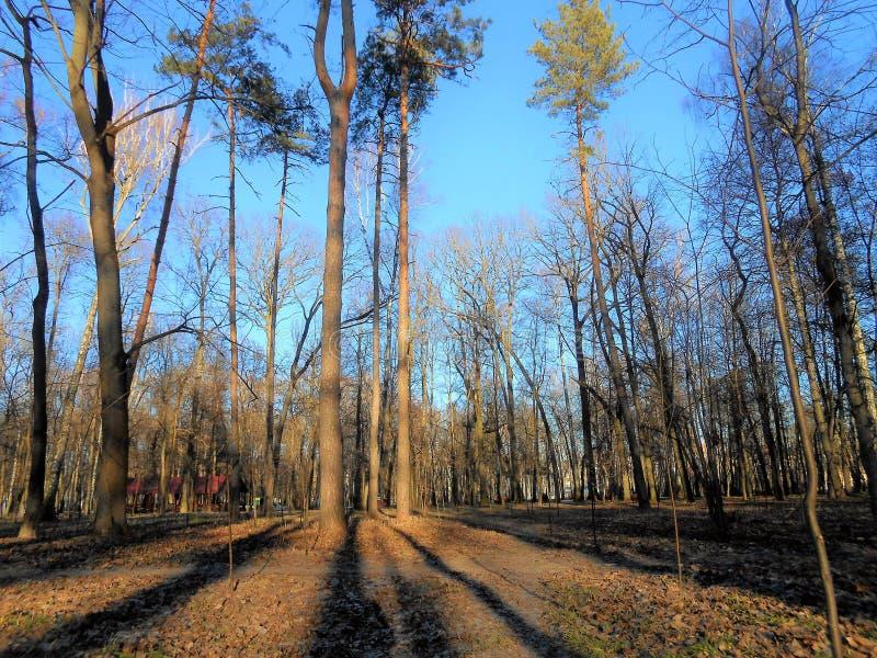 Hoge pijnbomen in het park stock foto's