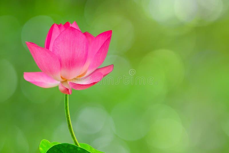 Hoge royalty - beeld van de kwaliteits het vrije voorraad van een roze lotusbloembloem royalty-vrije stock foto's