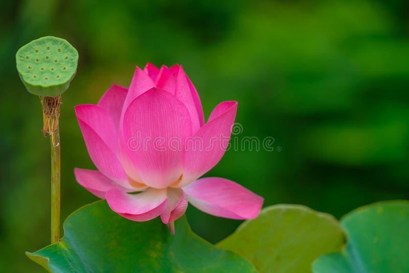 Hoge royalty - beeld van de kwaliteits het vrije voorraad van een roze lotusbloembloem royalty-vrije stock fotografie