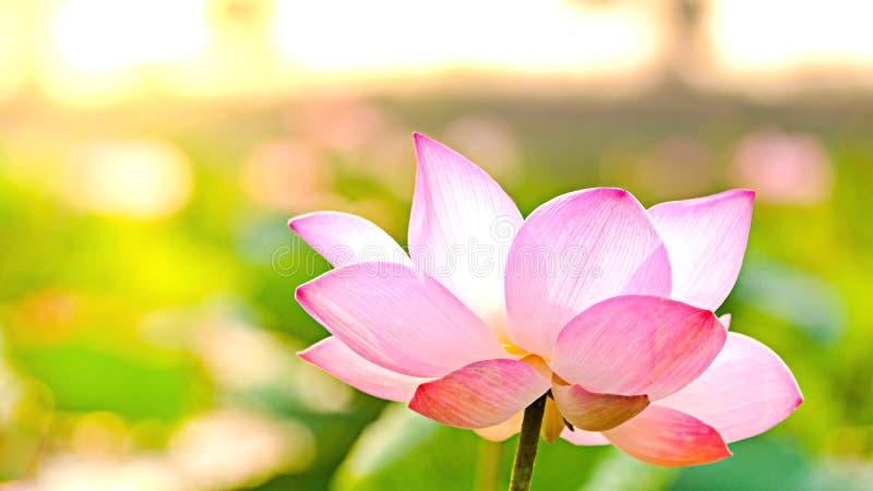 Hoge royalty - beeld van de kwaliteits het vrije voorraad van een roze lotusbloembloem De achtergrond is het lotusbloemblad en de royalty-vrije stock afbeelding