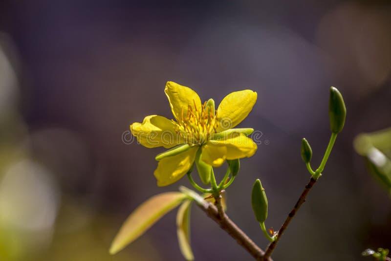 Hoge royalty - beeld van de kwaliteits het vrije voorraad van Ochna-bloem Ochna is symbool van Vietnamees traditioneel maannieuwj stock afbeelding