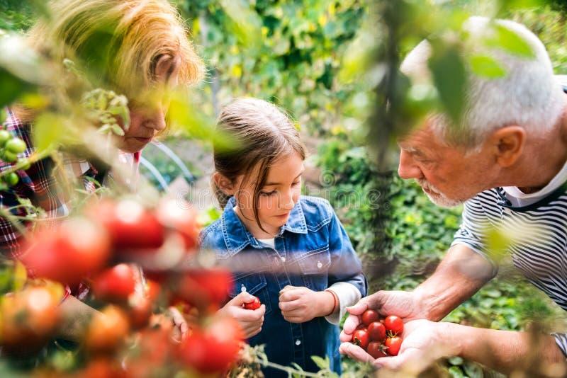Hoger paar die met grandaughter in de binnenplaatstuin tuinieren stock afbeelding
