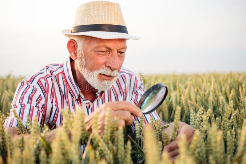 Hogere agronoom of landbouwer die tarweinstallaties onderzoeken vóór de oogst stock afbeelding