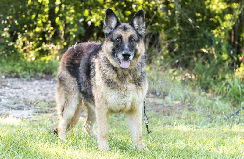 Hogere Duitse herder Dog buiten op leiband stock afbeeldingen