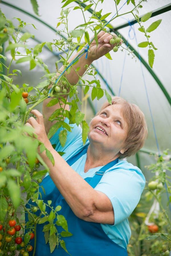 Hogere gepensioneerdevrouw in serre met tomaat stock foto's