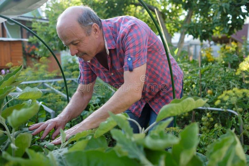 Hogere Kaukasische tuinman die installaties onderzoeken bij tuin royalty-vrije stock foto's
