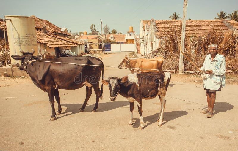 Hogere landbouwer die met koeien op Indische landelijke straat lopen stock afbeeldingen