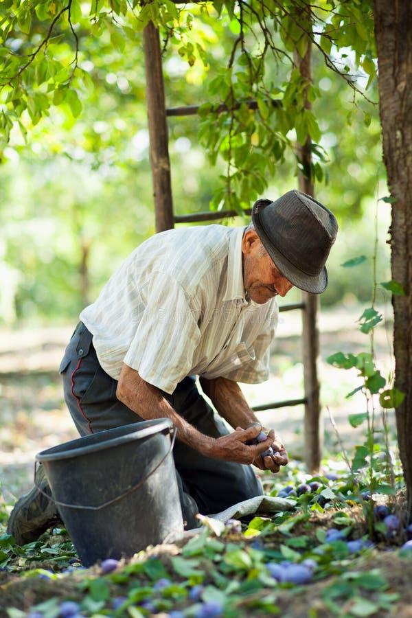 Hogere landbouwer het oogsten pruimen