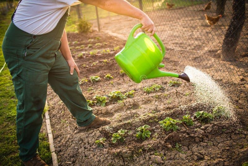 Hogere man tuinieren in zijn tuin stock afbeeldingen