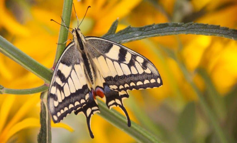 Hogere meningsmening van een mooie gemeenschappelijke gele swallowtailvlinder stock foto's