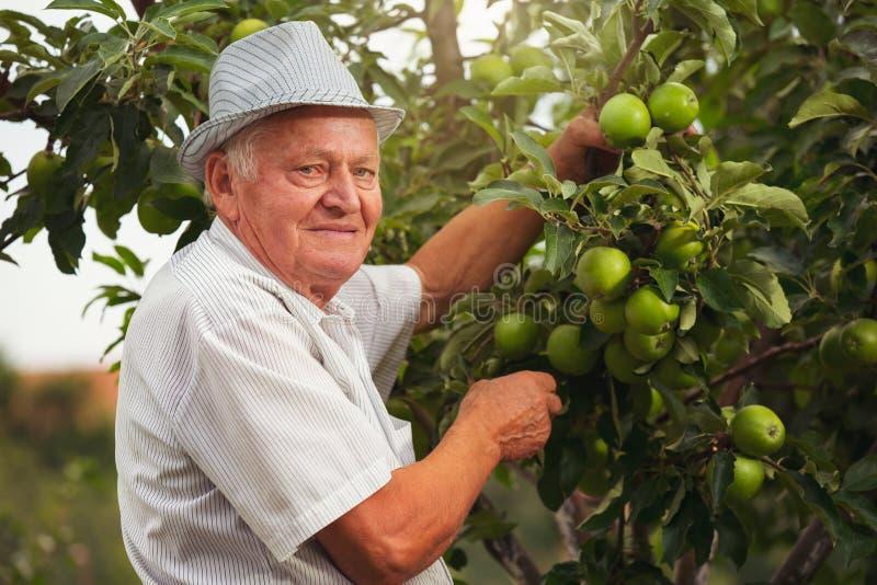 Hogere mens het plukken appelen royalty-vrije stock foto's