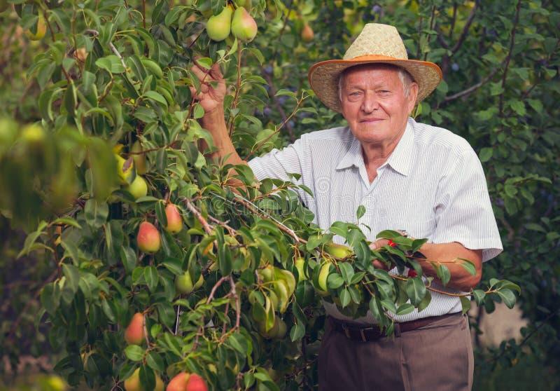 Hogere mens het plukken peren stock foto