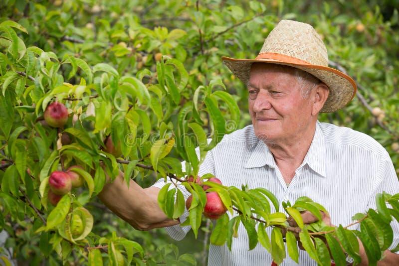 Hogere mens het plukken perzik in zijn boomgaard stock afbeelding