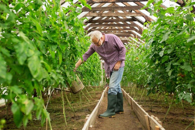 Hogere mens met gieter bij landbouwbedrijfserre stock foto