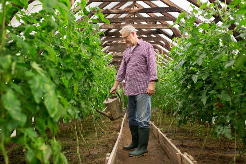 Hogere mens met gieter bij landbouwbedrijfserre stock fotografie