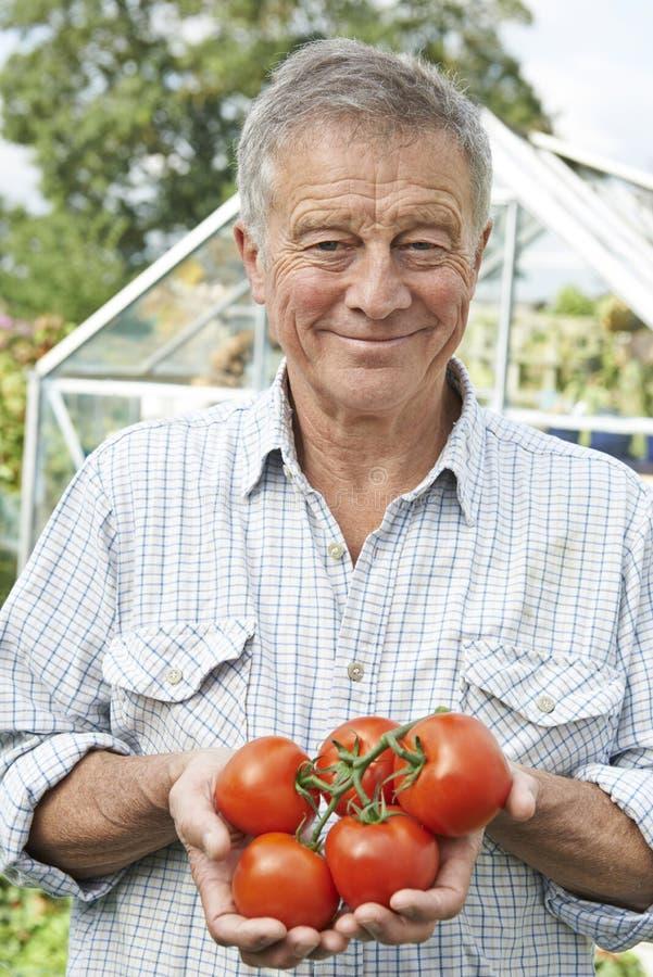 Hogere Mens in Serre met Inlandse Tomaten royalty-vrije stock fotografie