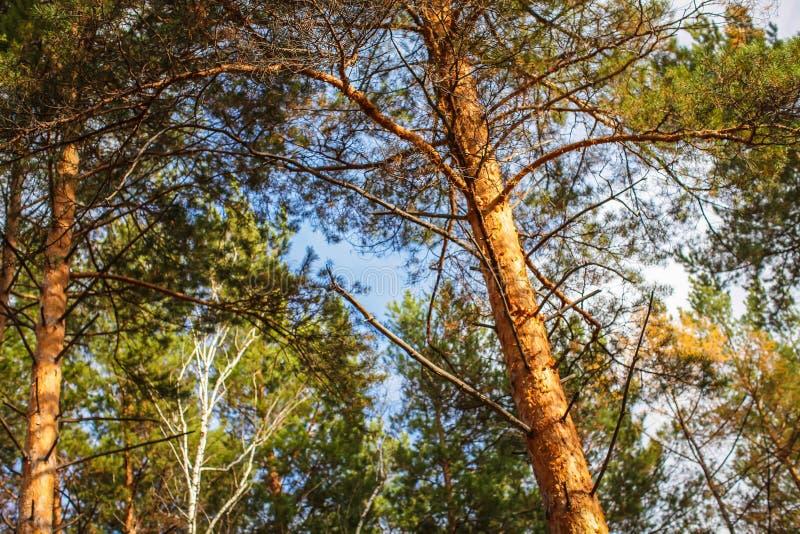 Hogere Takken van Hout in Naaldforest low angle view De zomerdennenbos, Lange Dunne Altijdgroene Pijnbomen Russische aard stock foto