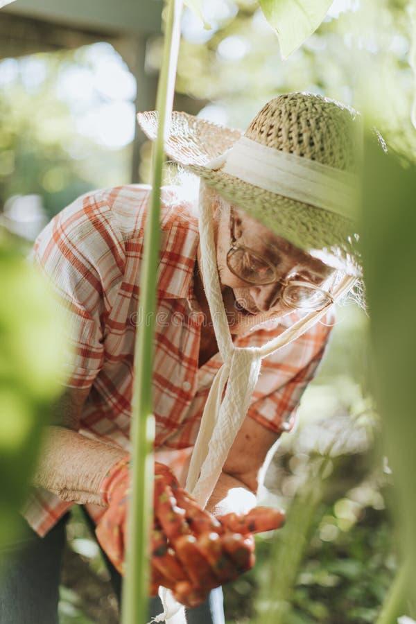 Hogere vrouw die aan de installaties in haar tuin neigen stock foto's