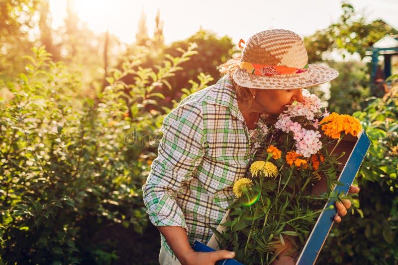 Hogere vrouw die bloemen in doos in tuin verzamelen Bejaarde teruggetrokken vrouwen ruikende snijbloemen royalty-vrije stock fotografie