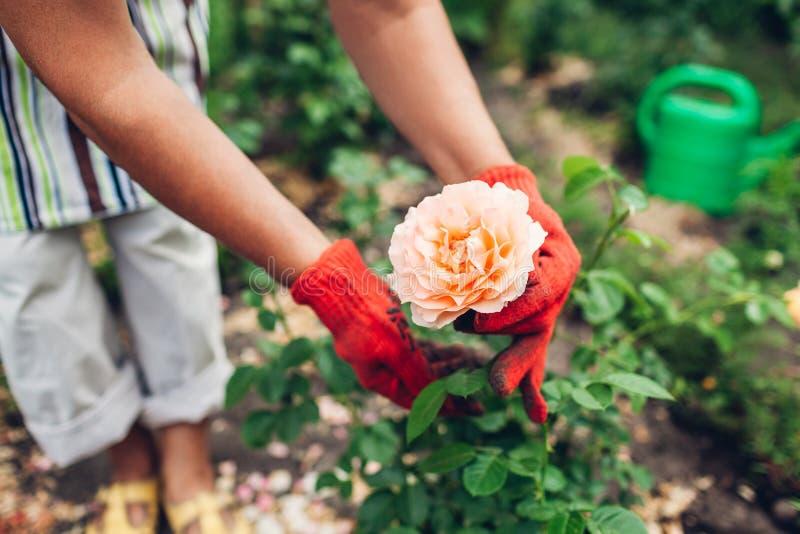 Hogere vrouw die bloemen in tuin behandelen Tuinman oranje tonen het op middelbare leeftijd nam toe Het tuinieren concept royalty-vrije stock fotografie