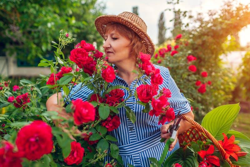 Hogere vrouw die bloemen in tuin verzamelen Vrouw die op middelbare leeftijd en het snijden rozen weg ruiken Het tuinieren concep stock fotografie