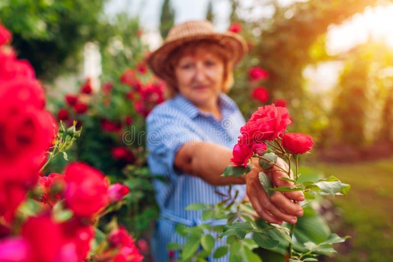 Hogere vrouw die bloemen in tuin verzamelen Vrouw roze tonen het op middelbare leeftijd nam tak toe Het tuinieren concept royalty-vrije stock afbeeldingen