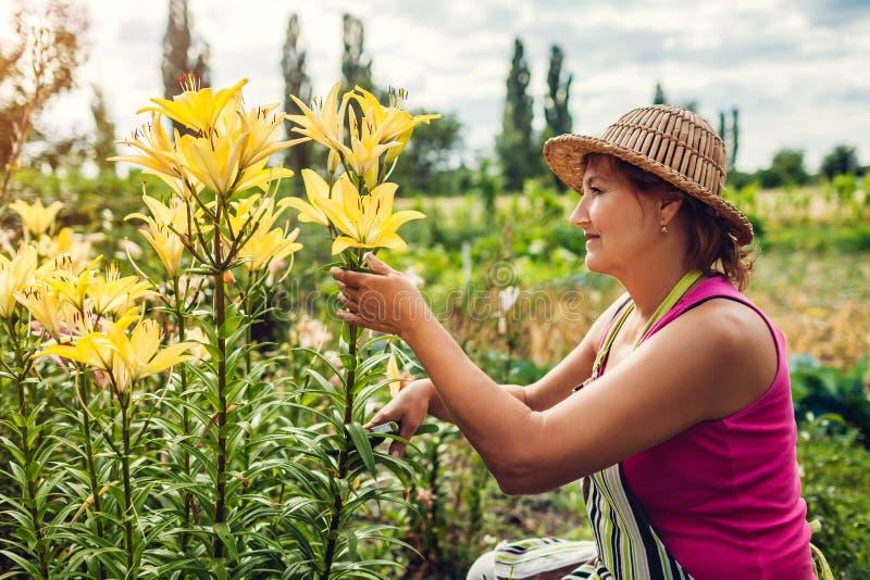 Hogere vrouw die bloemen in tuin verzamelen Tuinman scherpe lelies op middelbare leeftijd weg met pruner Het tuinieren concept royalty-vrije stock foto