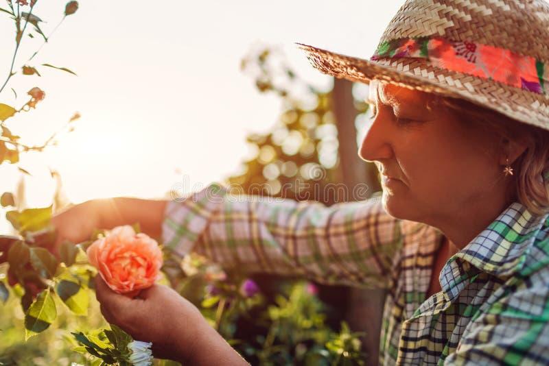 Hogere vrouw die bloemen in tuin verzamelen Vrouwen scherpe rozen op middelbare leeftijd weg Het tuinieren concept royalty-vrije stock afbeeldingen