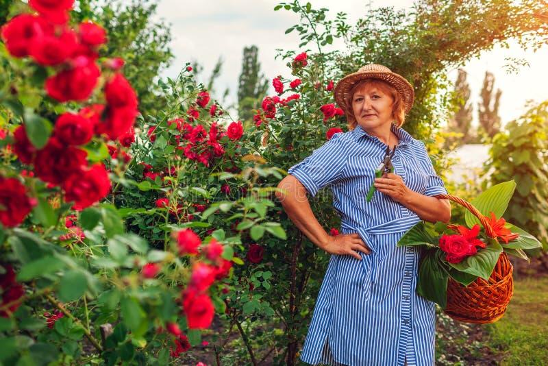 Hogere vrouw die bloemen in tuin verzamelen Vrouwen scherpe rozen op middelbare leeftijd weg Het tuinieren concept stock foto