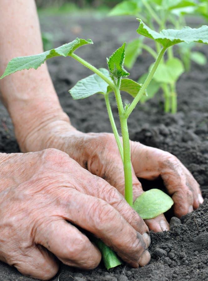 Hogere vrouw die een komkommerzaailing planten stock foto