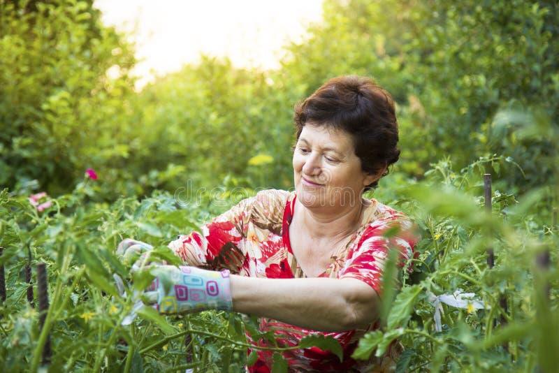 Hogere vrouw die in een moestuin werken die tomaten verbinden stock afbeelding