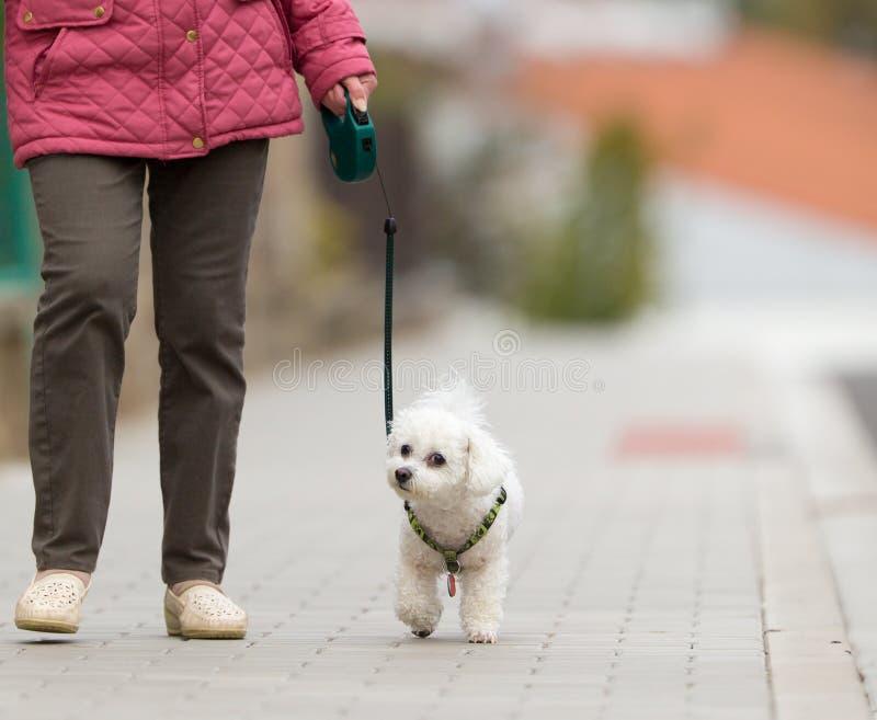 Hogere vrouw die haar lopen weinig hond op een stadsstraat royalty-vrije stock afbeeldingen