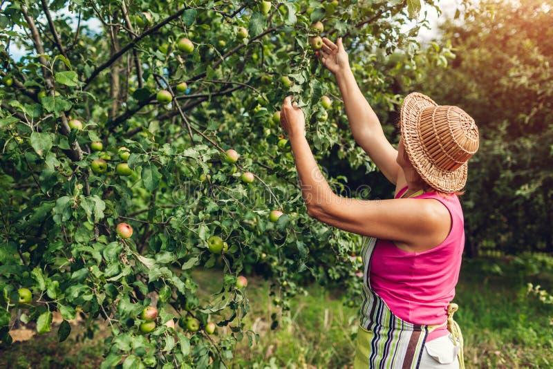 Hogere vrouw die onrijpe organische appelen in de zomerboomgaard controleren Landbouwer die fruitbomen behandelen royalty-vrije stock foto's