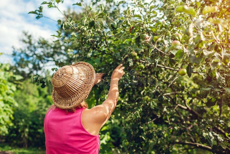 Hogere vrouw die onrijpe organische appelen in de zomerboomgaard controleren Landbouwer die fruitbomen behandelen royalty-vrije stock foto