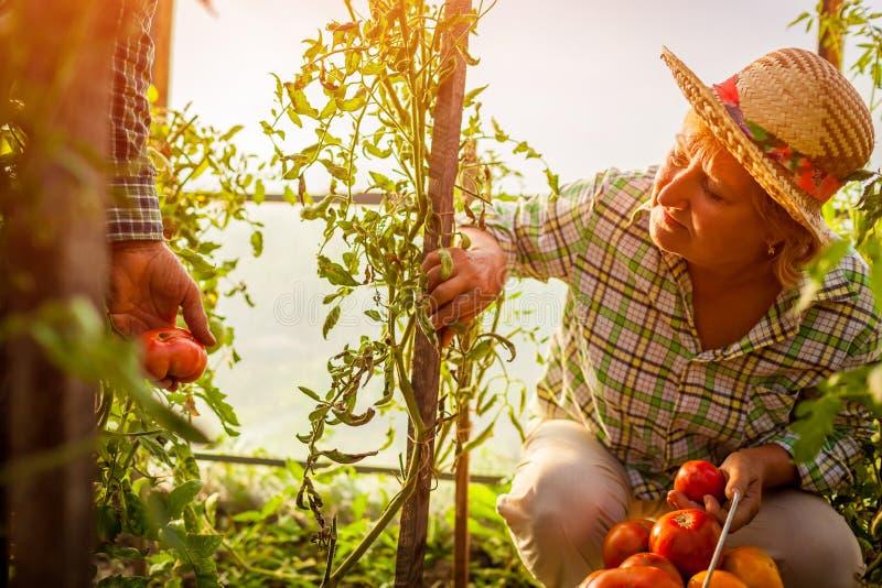 Hogere vrouw en man die gewas van tomaten verzamelen bij serre op landbouwbedrijf de landbouw, het tuinieren concept royalty-vrije stock afbeeldingen