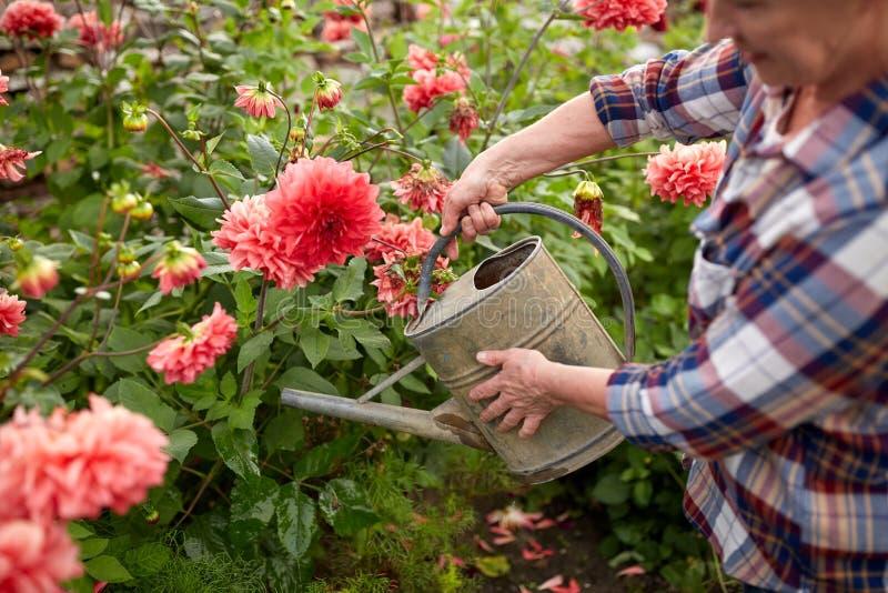 Hogere vrouw het water geven bloemen bij de zomertuin stock fotografie