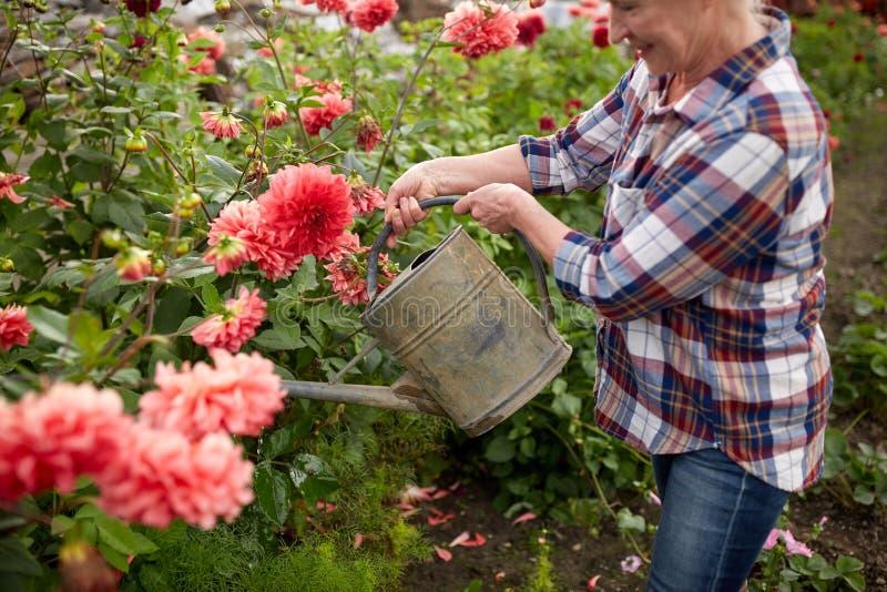Hogere vrouw het water geven bloemen bij de zomertuin stock foto's